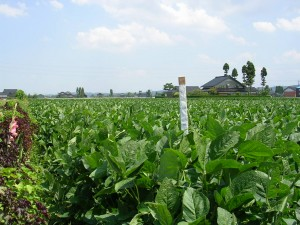 大豆成長過程