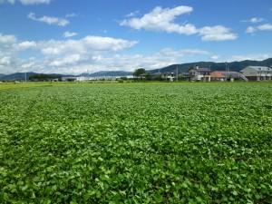 長野県産大豆①